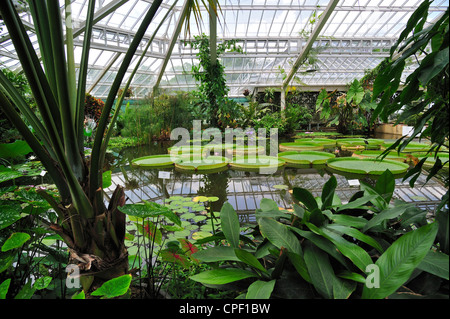 Giant water lily pads in the Victoria House, greenhouse of the Plant Palace in the National Botanic Garden of Belgium - Stock Photo