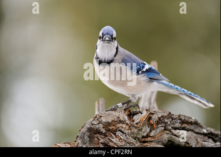 Blue Jay (Cyanocitta cristata) Visiting winter sunflower seed feeder, Greater Sudbury, Ontario, Canada - Stock Photo