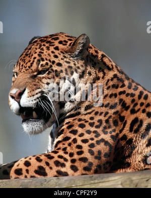 Panthera onca, Jaguar, snarling. - Stock Photo