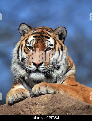 The tiger (Panthera Tigris) in close-up - Stock Photo