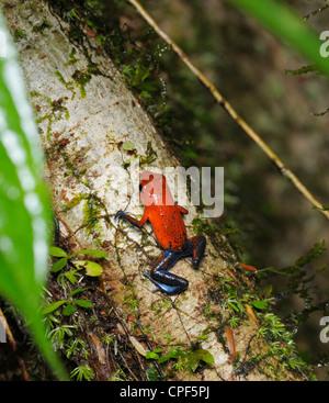 Strawberry poison frog, Dendrobates pumilio, lowland tropical rainforest, Chilamate,  Costa Rica - Stock Photo