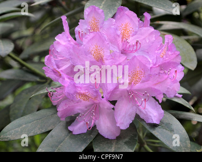 Close up of pink Rhododendron flower Kaatsheuvel, the Netherlands - Stock Photo