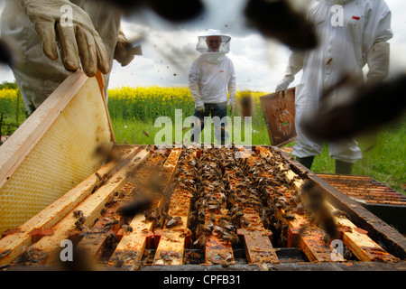 Professional beekeeping. Beekeepers examining hives of Western Honey Bee (Apis mellifera) for Queen cells. - Stock Photo