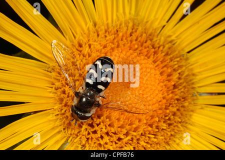 Hoverfly Scaeva pyrastri female feeding on an Inula flower in a garden. Powys, Wales. - Stock Photo