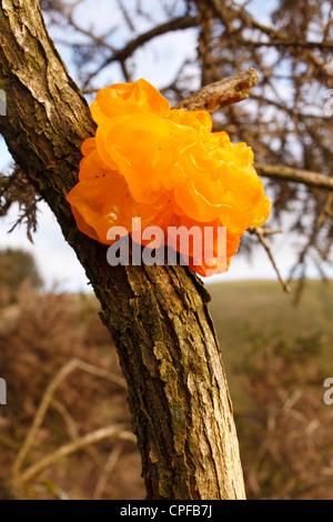 Yellow Brain Fungus (Tremella mesenterica) fruiting on Gorse (Ulex). Powys, Wales. December. - Stock Photo