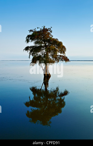 Lone cypress tree in brackish water, Taxodium distichum - Stock Photo