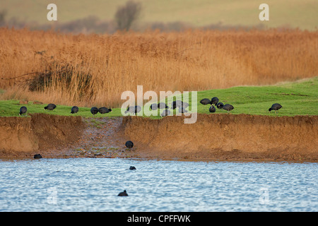 Common Coots (Fulica atra) Feeding on Early winter morning. - Stock Photo