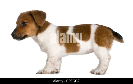Jack Russel Terrier puppy, 3 months old, standing against white background - Stock Photo