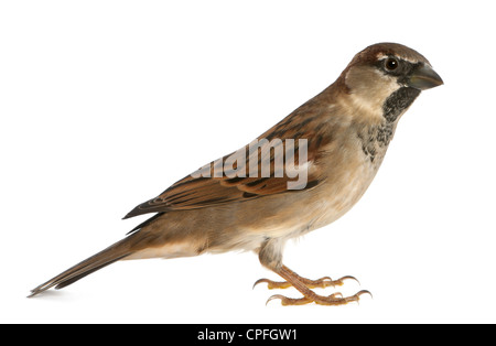 Male House Sparrow, Passer domesticus, 5 months old, against white background - Stock Photo