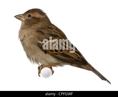 Female House Sparrow, Passer domesticus, 5 months old, perching against white background - Stock Photo