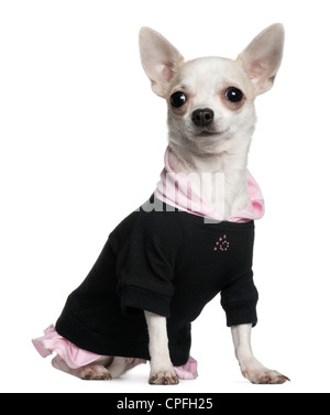 Chihuahua in black and pink clothing against white background - Stock Photo