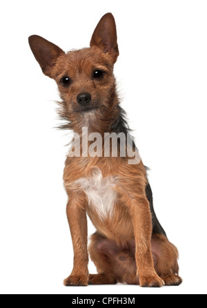 Crossbreed, 1 year old, sitting against white background - Stock Photo