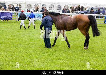 Horse cooling down after a horse race in England - Stock Photo