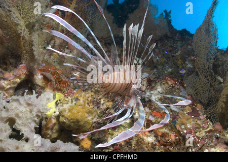 Fire Lionfish (Pterois radiata),  swimming over colourful coral reef, Sipidan, Mabul, Malaysia. - Stock Photo