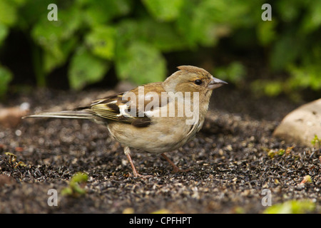 Female chaffinch collecting food from. - Stock Photo