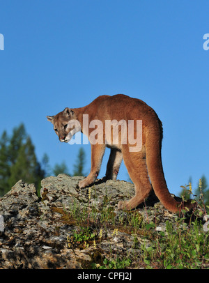 yellowstone national park cougars personals Dear twitpic community - thank you for all the wonderful photos you have taken over the years we have now placed twitpic in an archived state.