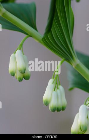 Common Solomon's Seal (Polygonatum multiflorum) flowers, England, UK - Stock Photo