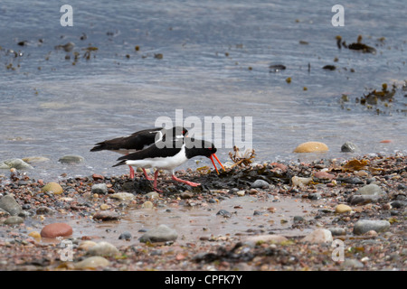 Pair of oystercatchers, exhibiting part of the courtship ritual. - Stock Photo