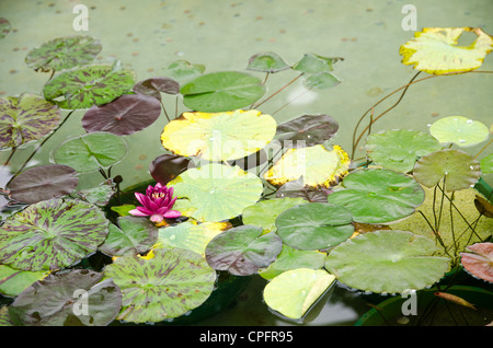 Lotus flower on floating lily pads in a pond
