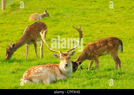 Fallow deer at Bowland Wild Boar Park in the Forest of Bowland Lancashire England - Stock Photo