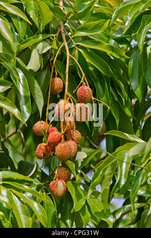 Lychee fruits (Litchi chinensis) in bunch on tree - Stock Photo
