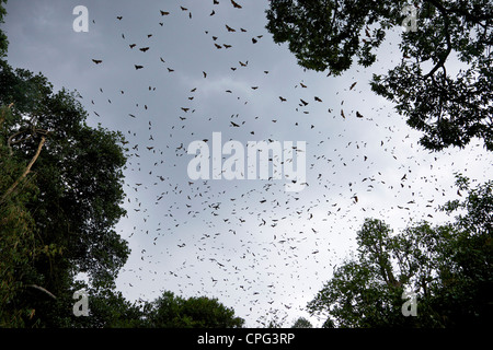 Indian Flying-fox or Greater Indian Fruit Bat, Pteropus giganteus, flying high in sky above the Royal Botanical - Stock Photo