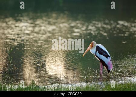 Painted stork, Mycteria Leucocephala, Yala National Park, Sri Lanka, Asia - Stock Photo
