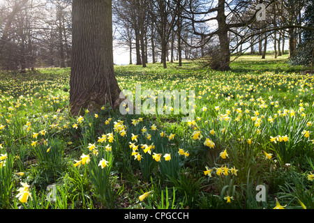 Wild daffodils in the Leadon Valley in north west Gloucestershire - here near Bromesberrow - Stock Photo