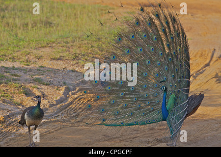 Indian Peafowl, Pavo Cristatus, peacock trying to impress female, Yala National Park, Sri Lanka, Asia - Stock Photo