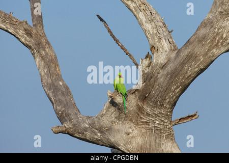 Breeding pair of Ring-necked Parakeets, Psittacula krameri, Uda Walawe National Park, Sri Lanka, Asia - Stock Photo