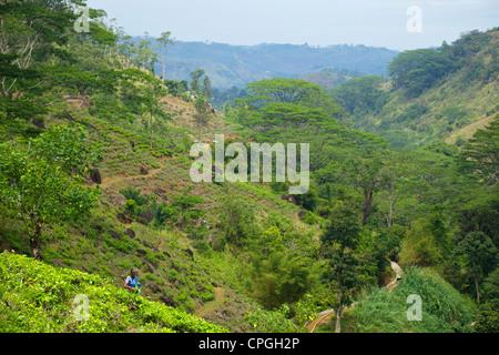 Female Tamil tea picker, tea plantation near Nuwara Eliya, Sri Lanka, Asia - Stock Photo