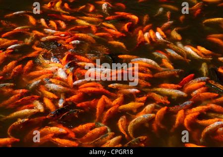 Swirling mass of Koi carp fish feeding frenzy at surface of Yuyuan Gardens pond in Shanghai China - Stock Photo