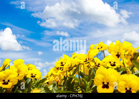 yellow pansy flowers against blue sky with clouds - Stock Photo