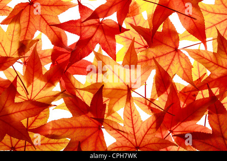 Maple, leaf, leaves, detail, isolated, back light, autumn, autumn color, autumn colors, autumn foliage, colouring, - Stock Photo