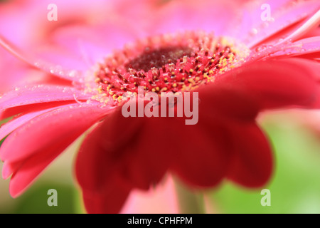 Dark Pink Gerbera Flower shot from side with water droplets on flower - Stock Photo