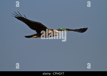 Female Marsh Harrier (Circus aeruginosus) with wing tags, Welney, Norfolk - Stock Photo