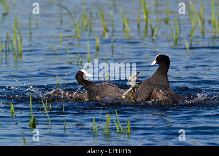 Two Eurasian Coot (Fulica atra), fighting, Cambridgeshire - Stock Photo