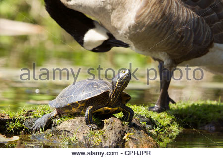 A red-eared slider (Trachemys scripta elegans) rests on a log in a small inlet in the Seattle Arboretum. - Stock Photo