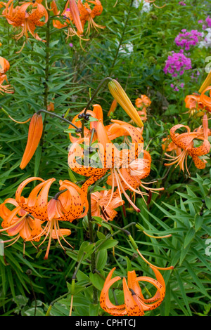 Bright orange colorful tiger lilies growing in a flower garden. Lanesboro Minnesota MN USA - Stock Photo