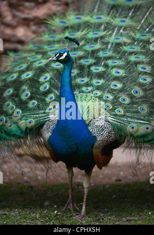 A Peacock displaying its feathers UK - Stock Photo