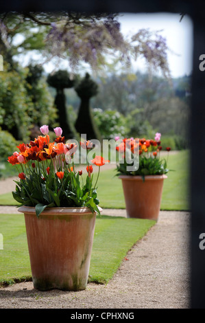 Tulips in a pot in an English garden UK - Stock Photo