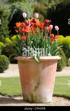 Tulips in a pot in an English garden UK