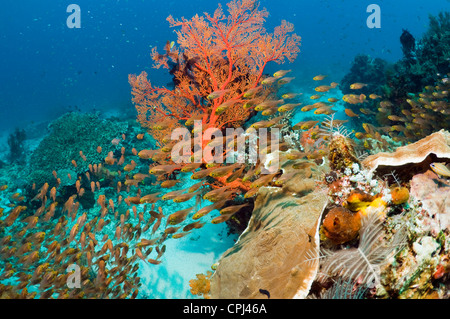 Coral reef scenery with gorgonian and Pygmy swepers (Parapriacanthus ransonetti). Indonesia. - Stock Photo