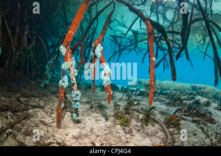 Blue water mangrove next to coral reef.  Raja Ampat, West Papua, Indonesia. - Stock Photo