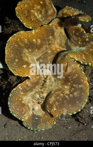 Fluted giant clam (Tridacna squamosa). Bali, Indonesia. - Stock Photo