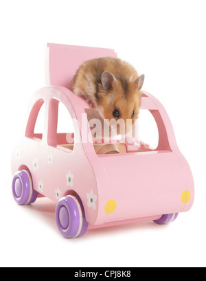 Hamster Single adult in a pink toy car Studio, UK - Stock Photo