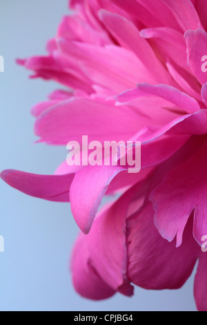 beautiful pink peony flower on a gray background - Stock Photo