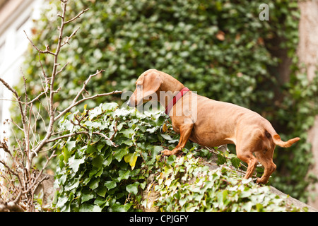Portrait of Dachshund dog - Stock Photo