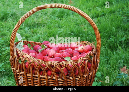 woven basket of apples sitting in the orchard - Stock Photo