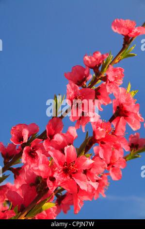 Blooming Peach Orchard, Crozet, Virginia, USA - Stock Photo
